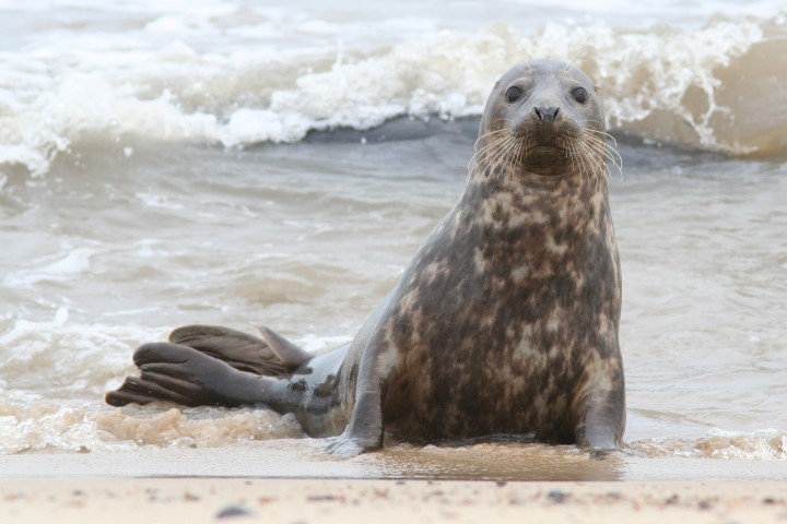 Grey-seal-Horsey-Jackie-Dent-7-March-2009-(Small)